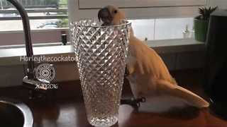 Crystal Vase-Loving Cockatoo Makes Sweet Sounds - Video