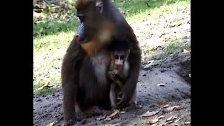 Rare Monkeys Born In Budapest - Video