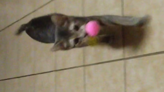 This Cat Loves To Play Fetch - Video