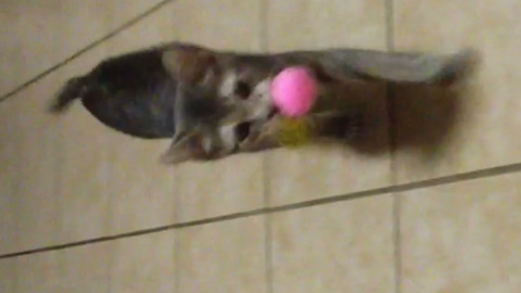 This Cat Loves To Play Fetch