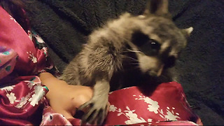 Needy Raccoon Demands Human Petting At All Times - Video