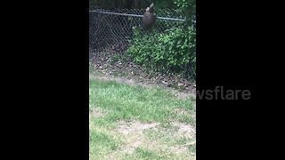 Snapping Turtle Climbs Chain Link Fence And Falls On The Other Side - Video