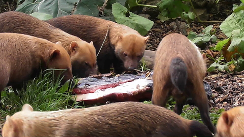 Amazing Bush Dogs Show Off Their Team Work