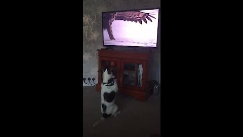 Dog sits upright like a human in order to watch nature program on TV