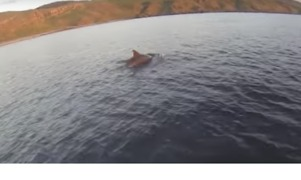 Man Encounters Dolphins While Paddleboarding with his Dog in the Gauldrons - Video