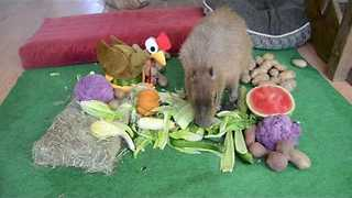 Thankful Capybara Enjoys Festive Feast - Video