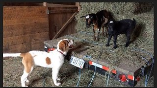 Dwarf Goat Shows Farm Doggy Who's Boss - Video