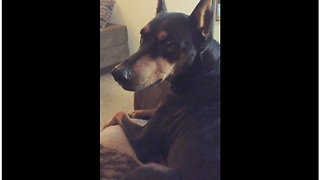 Spoiled Doberman Cries When Owner Stops Petting Him - Video
