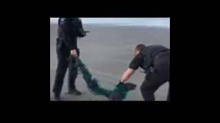 Police Officers Rescue Seal Trapped in Plastic in Ocean Shores, Washington - Video