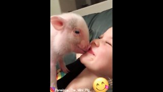 Baby Mini Pig Covers Little Girl In Kisses - Video