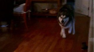 Malamute sprinting with joy for happy hour  - Video
