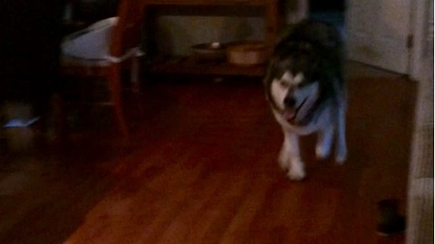 Malamute sprinting with joy for happy hour
