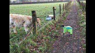 Adorable Greyhound Makes Friends With Curious Calf - Video