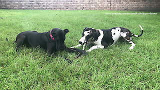 Great Danes Have Fun Sharing and Chasing The Same Stick