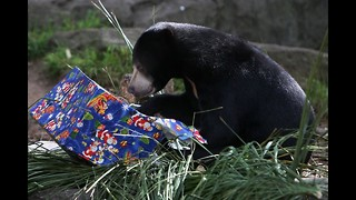 Bear Opens Christmas Presents - Video