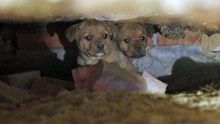 Rescuers successfully pluck 10 puppies from crumbling abandoned home