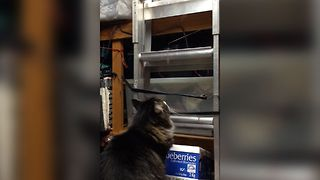 Curious Cat Climbs A Ladder To Hideaway - Video