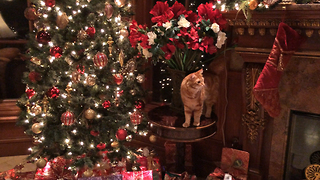 Beautiful Cat casually ignores Christmas Tree