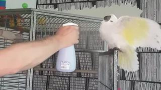 Cockatoo loves to get sprayed by water bottle - Video