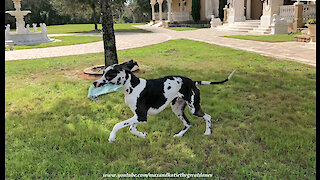 Funny Great Danes Play Newspaper Delivery Tag