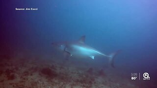 VIDEO: Great white shark gets within feet of diver off Palm Beach