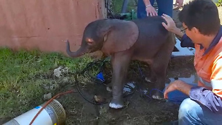 Dumbo Drain Rescue For Young Elephant - Video