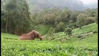 Incredible escape for man as charging elephant trips and falls - Video