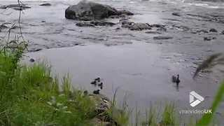 Little duckling gets swept down stream - Video