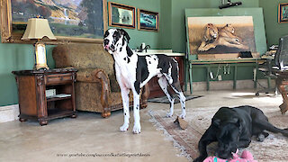 Funny Foot Stomping Great Dane Wants To Play