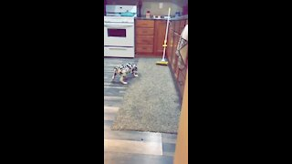 Great Dane puppy barks at mop nemesis