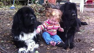 Toddler hangs out with her two giant Newfoundlands