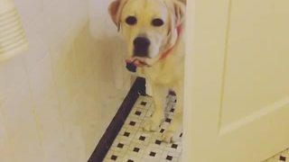 Labrador stalks owner's every single move - Video