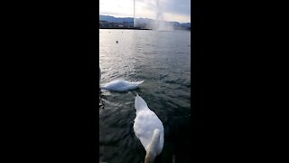 White bird enjoy lake in Switzerland