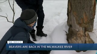 Beavers are back on the Milwaukee River – and that's a good thing