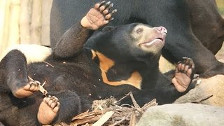 Rescued Sun Bears Enjoy Play Time - Video