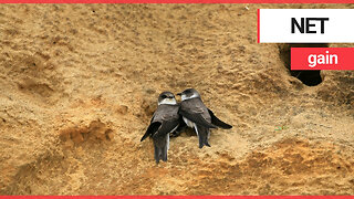 Sand martins return to nests following bitter dispute over netting of cliff sides