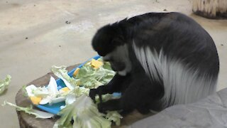 Colobus monkey eating breakfast