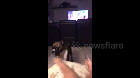 A boxer dog growls and sounds like a motorcycle
