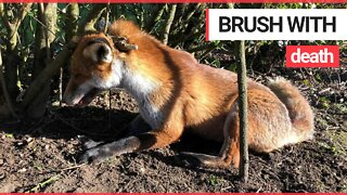 Nurses rescue vixen moments from death after getting caught in deadly trap