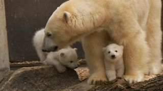 Baby Polar Bear Cubs - Video