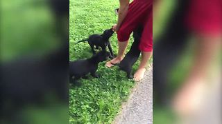 """Four Labrador Puppies Pants A Guy (WHEN CUTE PUPPIES ATTACK)"""