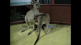 Baby Kangaroos (joeys) playfighting before they go to bed