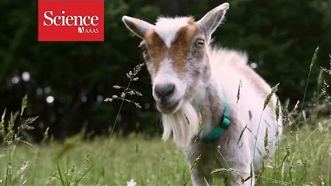 These goats stare at men—when they want help