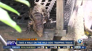 Tonight at 5 p.m.: Tegu lizards in South Florida - Video