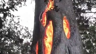 Sonoma Wildfire Burns in Hollowed Out Tree - Video