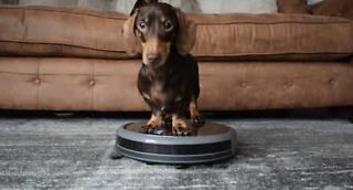 This sausage dog loves helping with the vacuuming!