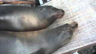Sea Lions Cuddle Up on Lawn Chair for a Snooze - Video