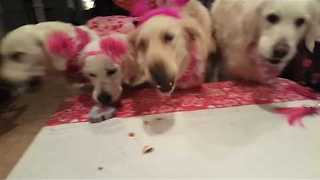 Golden Retrievers Enjoy a Sweet Treat for Valentine's Day