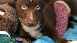 Ultra-rare Puppy Dubbed 'world's Most Beautiful Dog' Given Up To Stunned Adoption Centre Staff