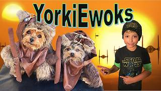 Yorkie Ewoks adorably protect the Galaxy! - Video